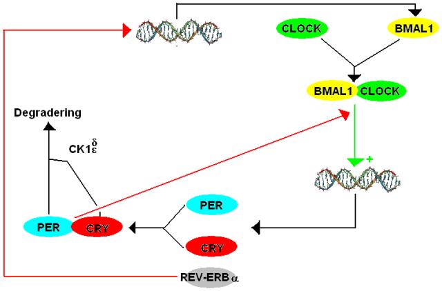 Keskuskellon tuottaman rytmin perusta. Punaiset nuolet kuvaavat estovaikutusta ja vihreät vaikutuksen voimistumista, stimulaatiota. BMAL1 ja CLOCK yhdistyvät, sitoutuvat PER ja CRY geenien promoottorialueeseen ja edistävät näiden geenien toimintaa tumassa. Geenit tuottavat PER ja CRY valkuaisaineita, jotka siirtyvät tumasta solulimaan ja muodostavat yhdistelmän, joka palaa tumaan estämään BMAL1 ja CLOCK geenejä. Muita säätelijöitä ovat mm. REV-ERBalfa ja kaseiinikinaasi CK1d/e. CK1d/e= kaseiinikinaasi 1 delta/epsilon.